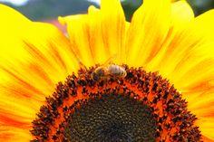 L'abeille se charge en pollen