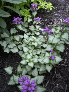 lamium 'purple dragon' - added to my garden today! Shade Garden Plants, Garden Shrubs, Lawn And Garden, Purple Plants, Shade Landscaping, Landscaping With Rocks, Garden Landscaping, Cactus Plante, Plant Projects