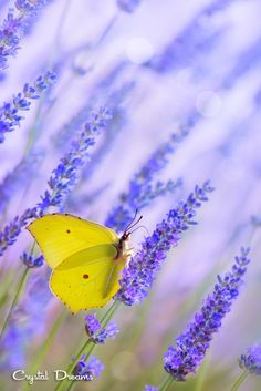 Yellow butterfly visiting Lavender blooms  ~  morning in Provence, France. by  Tatiana Krylova