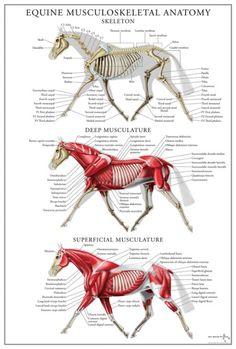 Equine Anatomy – Musculoskeletal System Poster Equine Anatomy – Musculoskeletal System Poster - Art Of Equitation Equine Massage Therapy, Horse Therapy, Horse Anatomy, Animal Anatomy, Horse Facts, Muscular System, Animal Science, Horse Information, All About Horses