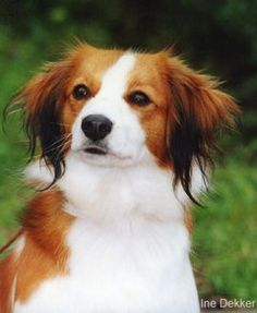 Kooikerhondje / Kooiker Hound / Small Dutch Waterfowl Dog / Dutch Decoy Dog