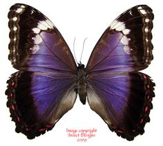 Morpho violacea (Brazil)