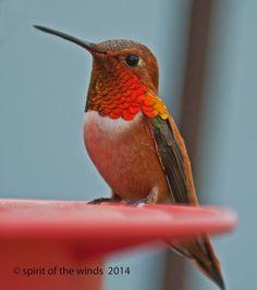 Mr Rufous Hummingbird