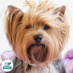 Bad hair day 😆 @call_me_anchy #PETica  *  *  *  *  *  #yorkie_shout_outs #yorkies_forever_ #lovepuppies #lovedogs #dogsofserbia #dogsitting #pets #petguards #13th_dog #dogsofinstagram #dogsinsta #my_pet_feature #my_loving_pet #amazingdog #cool_angel369 #cool_angel369_ #yorkie #yorkies #photooftheday