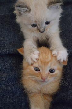 ラブリー·KittyCats、titstatscats:子猫はlilの毛皮のような悪魔です