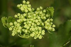 Prairie Parsley Wildflowers, Botany, Parsley, Fruit, Green, Wild Flowers, The Fruit