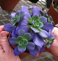 Echeveria azul.  Las suculentas.  Estoy pensando en la creación de un musgo / jardín suculenta / rock .: