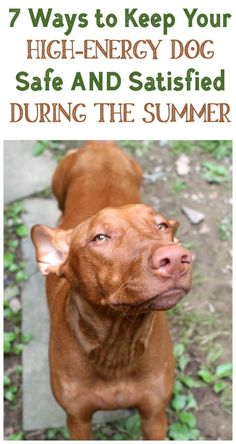 How do you keep your high-energy dog safe AND satisfied on blazing hot summer days? Check out my tried and true tips that work with my extremely active Pharaoh Hound!  #ad #WellnessPetFood