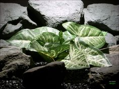 Silk Aquarium Plants: Arrowhead Philo Leaves | Sarp084