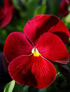 Red Pansy - gorgeous!
