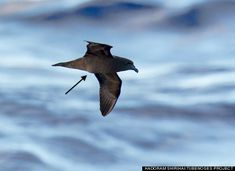 Mascarene petrel with an egg-shaped bulge in its middle