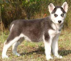 Beautiful Eyes - Siberian Husky
