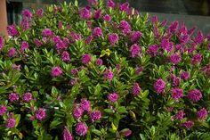 Hebe 'Sunset Boulevard' (pbr)  van Vliet New Plants