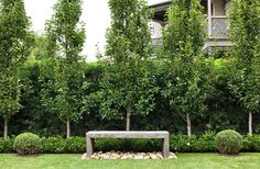 Pyrus ussuriensis with low Gardenia 'Florida' hedge. Custom Australian hardwood bench with nepean random pebbles, framed by Buxus balls. Hedges Landscaping, Australian Garden, Garden Hedges, Backyard Landscaping, Outdoor Gardens, Backyard Garden Landscape, Garden Landscaping, Cottage Garden, Garden