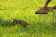 Mais uma raposinha solta por Fred.