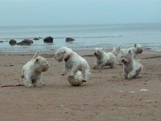 Westies playing soccer! Well that's just adorable