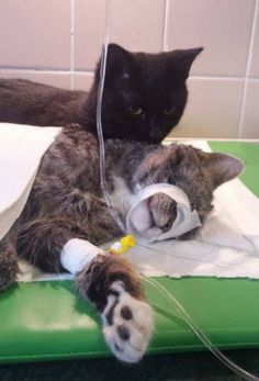 Meet the adorable nurse cat that comforts other animals when they're sick.   Great Cats   Someecards