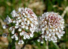 Noccaea caerulescens VÅRPENGEURT Alpine Penny-cress / Gebirgs-Hellerkraut