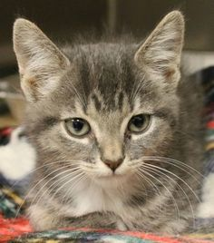 Ruth: Sweet 2-month-old tabby is out of time at high-kill upstate shelter