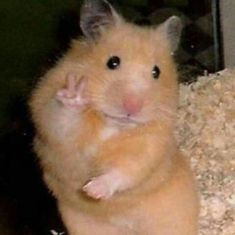 This sub is dedicated to hamsters and their humans. Funny Animal Jokes, Cute Funny Animals, Cute Dogs, Cute Memes, Stupid Funny Memes, Scared Meme, Cute Hamsters, Cute Little Animals, Cartoon Memes