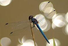 Sparkling dragonfly