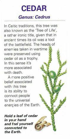 Healing Plants and herbs. Cedar