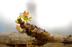 Bud break begins a magical cycle that will carry us into Fall
