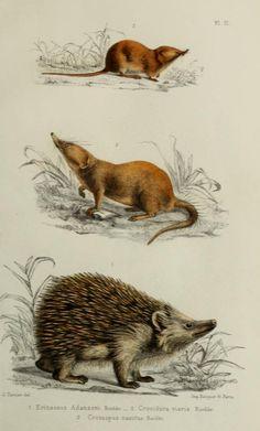 Water shrew ( Crossopus sp.), Savannah path shrew (Crocidure viaria), Hedgehog (Erincaceua sp.). Fauna of the Senegambie, 1883
