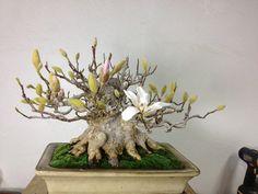 magnolia bonsai!