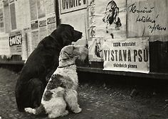 Black Labrador and Wire Fox Terrier read notices. Fox Terriers, Wire Fox Terrier, I Love Dogs, Cute Dogs, Clever Dog, Black And White Dog, Vintage Dog, Dog Show, Service Dogs