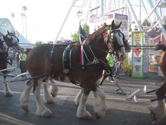 Clydesdale horses at the LA County Fair   #horses  #animal  #countyfair  #lacountyfair #America  #USA #roadsideattraction #nature