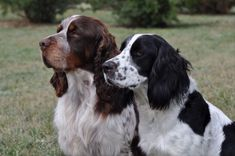 Springer Spaniel Puppies, English Springer Spaniel, Field Spaniel, Spaniels, Puppy Pictures, Rocky Mountains, Wyoming, Pumpkin Spice, Animals And Pets
