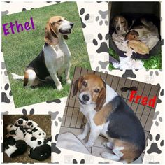 Meet Ethel (bonded w/Fred), an adoptable Beagle looking for a forever home. If you're looking for a new pet to adopt or want information on how to get involved with adoptable pets, Petfinder.com is a great resource.