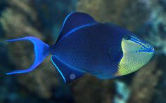 Redtoothed triggerfish or Niger trigger, (Odonus niger)