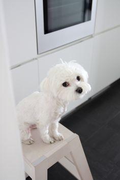 Homevialaura | Visiting the beautiful home of 5kulma.com | Maltese dog Milo from vienak.com
