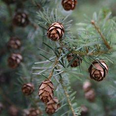 Hemlock cones.  #hemlock #hemlocktee #pinecones #tiny #miniaturehemlock,pinecones,miniature,hemlocktee,tinyalchemologie