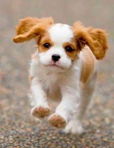 "Cavalier King Charles Spaniel ~ Reminds me of the movie ""Lady and the Tramp"". Lady the cute female dog is a spaniel :) Cute Puppies, Cute Dogs, Dogs And Puppies, Doggies, Puppies That Stay Small, Baby Dogs, Small Dogs, Baby Animals, Funny Animals"
