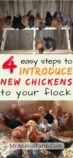 Introducing new chickens to the flock. You may have noticed whenever you introduce new chickens to your flock, they get picked (or pecked) on mercilessly by your older hens. We have 4 great tips to help keep your new chickens safe while keeping your older chickens happy!