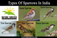Sparrows of India :)