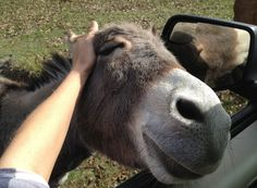 Pure Bliss. You'll probably never be as happy as this many donkey, who chases you until you scratch his head
