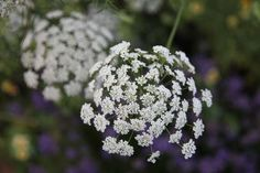 Ammi majus - hardy annual, great for the back of a border
