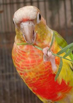 """""""Pineapple"""" Conures- The Feather Tree"""