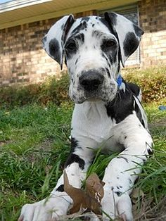 #Great #Dane #puppy