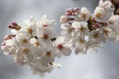 Fotos: Sakura: Cerezos en flor en Japón | Actualidad | EL PAÍS
