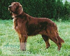 Irish Red Setter - cross stitch pattern designed by Tereena Clarke. Category: Dogs.