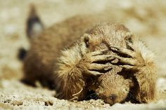 Plans to poison 16,000 Prairie dogs to appease cattle companies.... Add your voice to stop this cruelty at these  links
