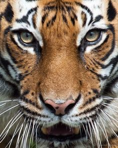 """loveforearth:  """"Tevy, female Malayan Tiger"""" by Francisco Herrera"""