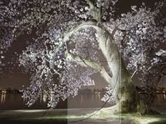 Gorgeous 'Light Paintings' of D.'s Cherry Blossoms at Night With a long exposure and a flashlight, Jacques Domenge brings out the surreal beauty of the cherry trees after the crowds have gone. REBECCA J. ROSENAPR 9 PM ET Painted blossom sm. 4k Wallpaper For Mobile, Tree Wallpaper, Silhouette Painting, Tree Silhouette, Cherry Blossom Painting, Cherry Blossoms, Cherry Blossom Washington Dc, Rule Of Thirds, Cherry Tree