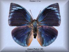 Anaea Polyxo