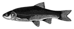 Holocene Extinction Month #15 – Thicktail Chub  The thicktail chub (Gila crassicauda) was a type of minnow found in the lakes, marshes, ponds, and slow-moving rivers of the Central Valley of California. Growing up to about 25cm long (10in) it was once one of the most common fish in California, making up nearly half of the total fish population in the Sacramento River.  Dam construction, marsh draining, and agricultural irrigation destroyed most of the thicktail chub's natural habitat, and…